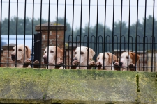 <h5>Is it my turn today?  Hounds waiting in kennels for the opening meet to start</h5>